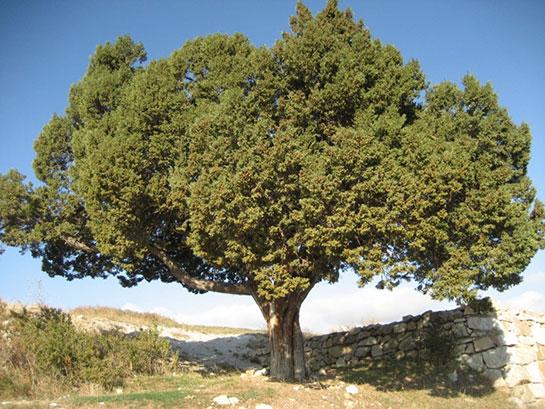 ardıç ağacı özellikleri
