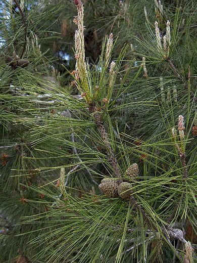 kızılçam ağaç türleri