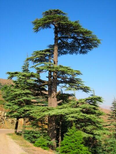 sedir ağacı özellikleri